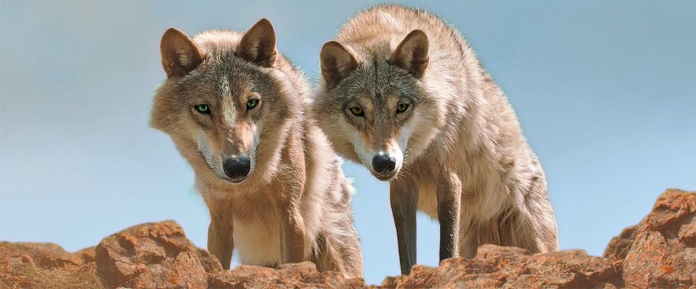 Wolf Totem – Der letzte Wolf (3D)